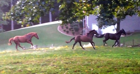 The boys showing off for the new mare in the pasture.